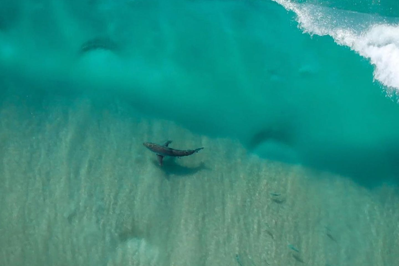 A great white shark off the coast of Sydney, filmed by Jason Iggleden's drone. Image: Drone Shark App