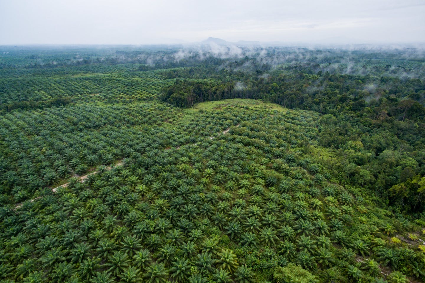 Aerial View of Palm Oil Plantation in Indonesia