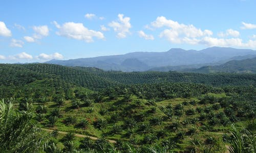 Remaining forests struggle to survive amid oil palm plantations, study shows