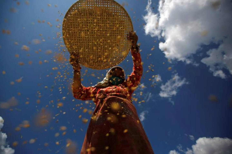 farmer harvesting rice in nepal