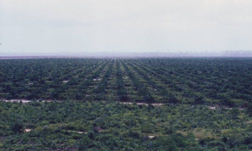 Asian companies trail in sustainable palm oil adoption