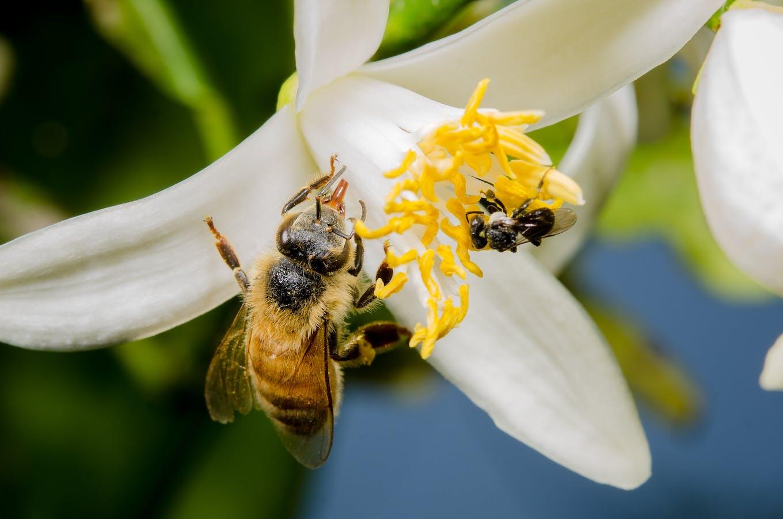 Honeybee vs stingless bee size