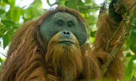 Indonesia dam builder rebuffs new study to assess impact on orangutans