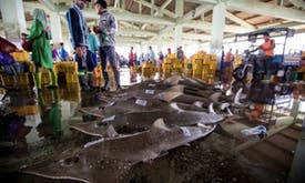 Overfishing threatens to wipe out bowmouth guitarfish in Indonesia