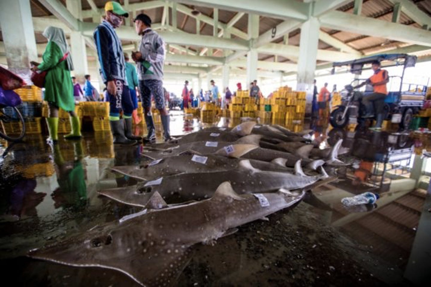 White-spotted guitarfish at a fishing port in Central Java
