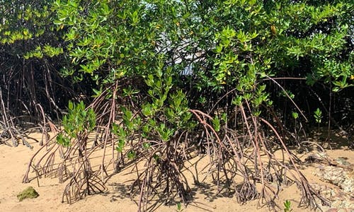 Bucking global trends, Southeast Asian mangrove destruction is rampant