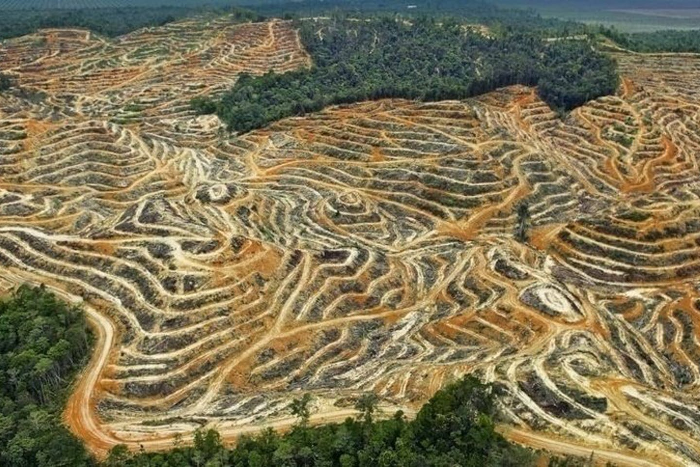 Forests cleared for palm oil cultivation.