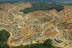 Forests cleared for palm oil cultivation-2
