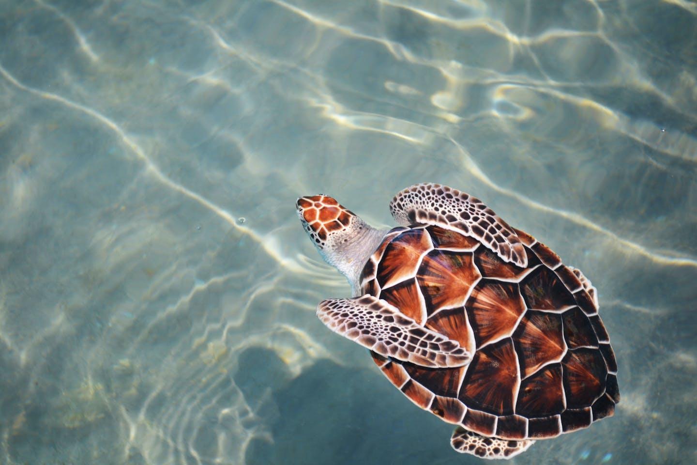 Turtle, Asia Pacific, ocean