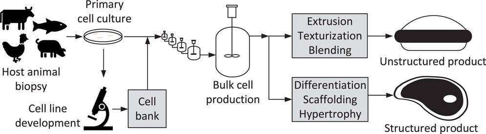 Conceptual cultured meat production process