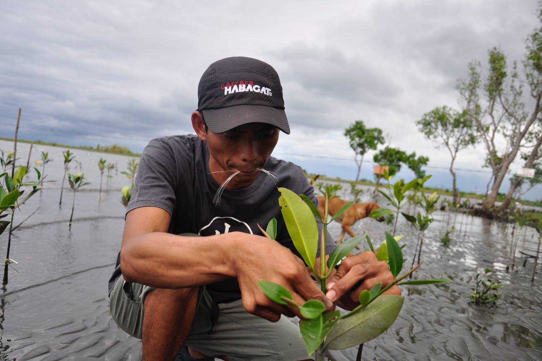 mangrove Silonay