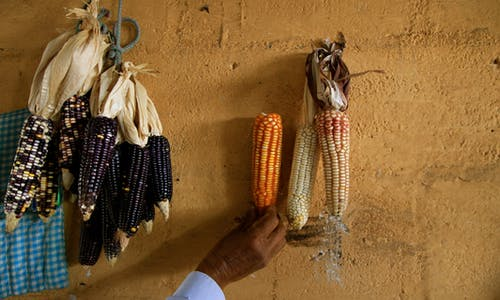 Why traditional knowledge is the key to sustainable agriculture