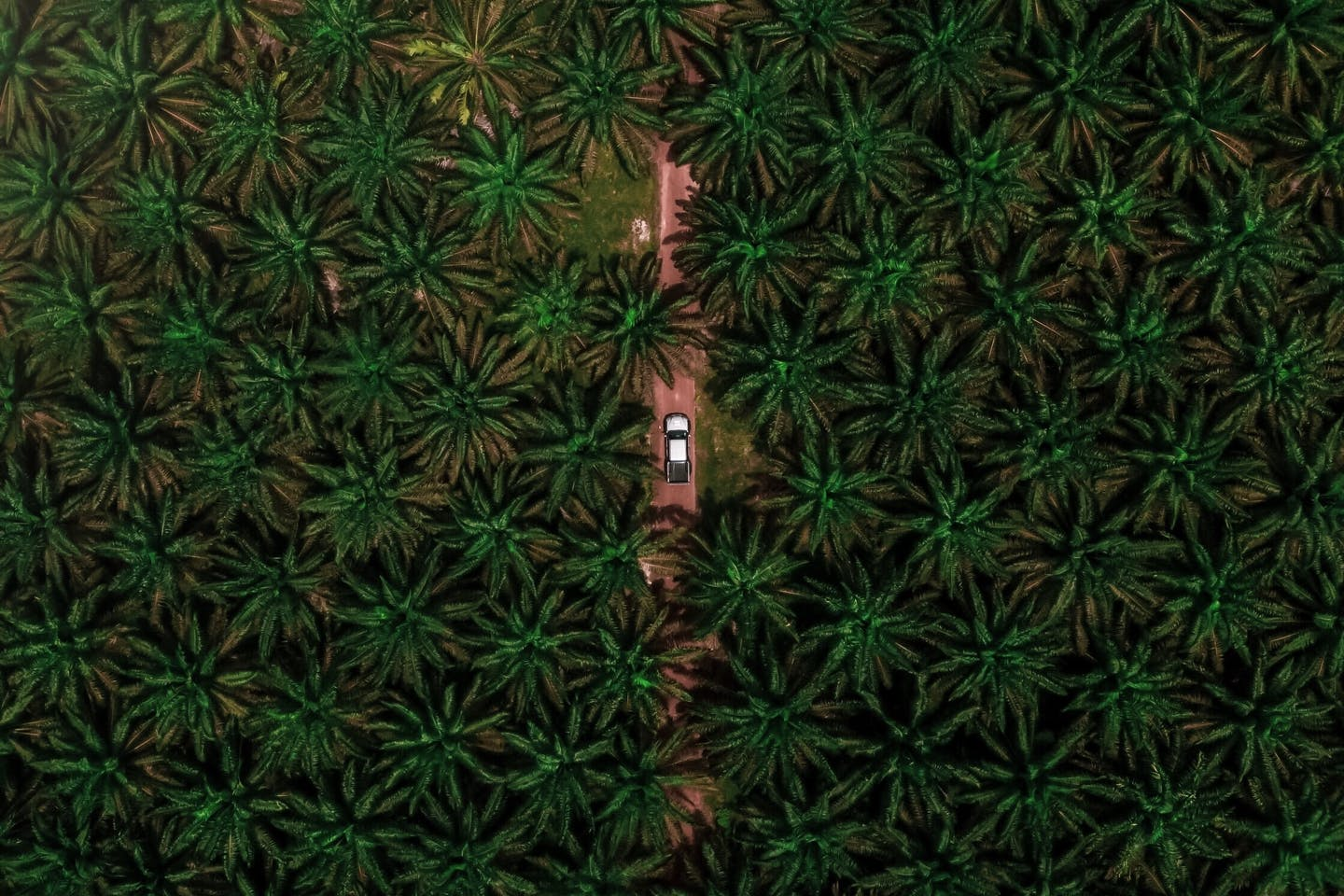 aerial view palm oil trees