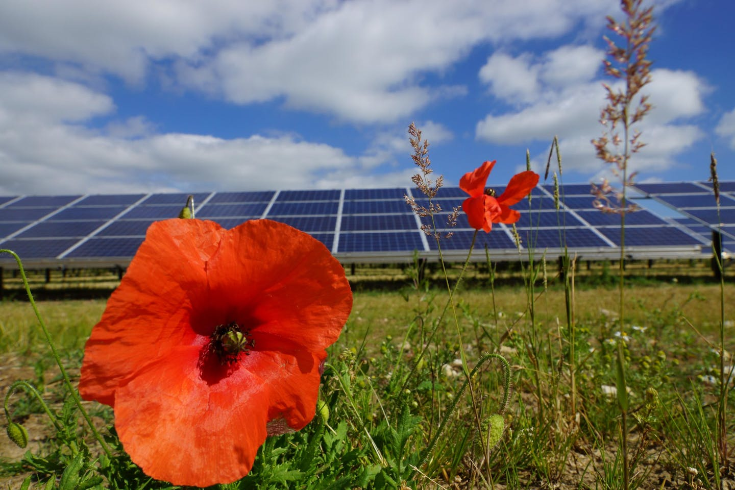 Poppy and solar panels