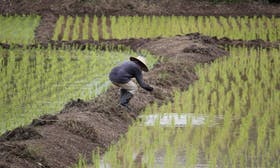 Indonesia's new rice cultivation plan will undermine peatland restoration efforts