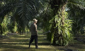 Incentivising sustainability: Training smallholders to grow sustainable palm oil