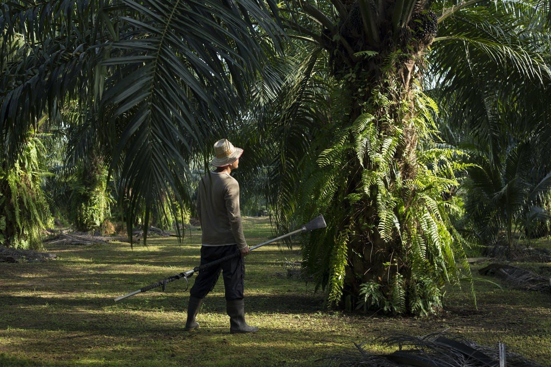 A smallholder palm oil farmer in Indonesia
