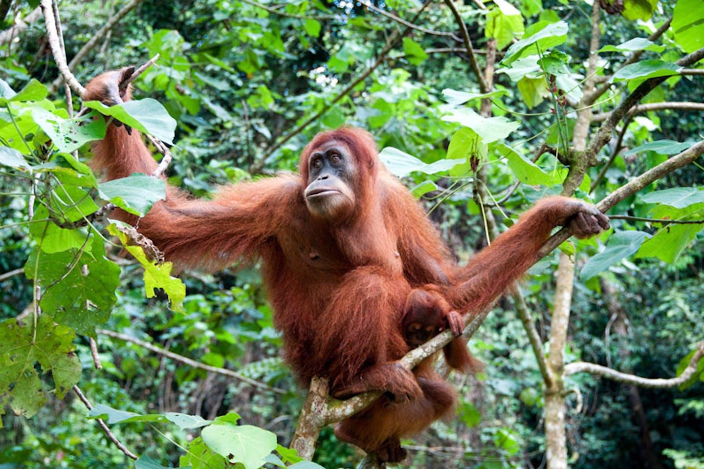 sumatran orangutan 2021