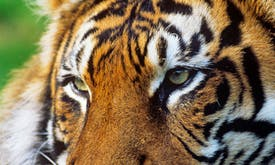 From tigers in Bhutan to hornbills in Singapore: Asian conservation success stories that show the resilience of nature