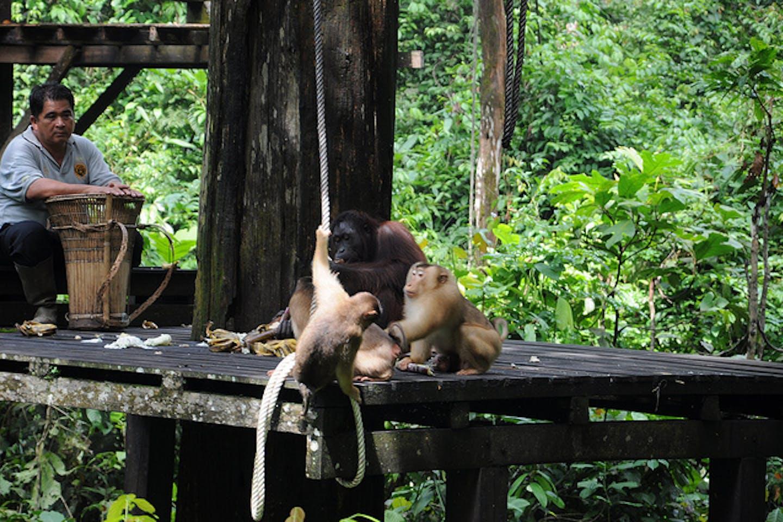 orangutan rehab center sabah malaysia