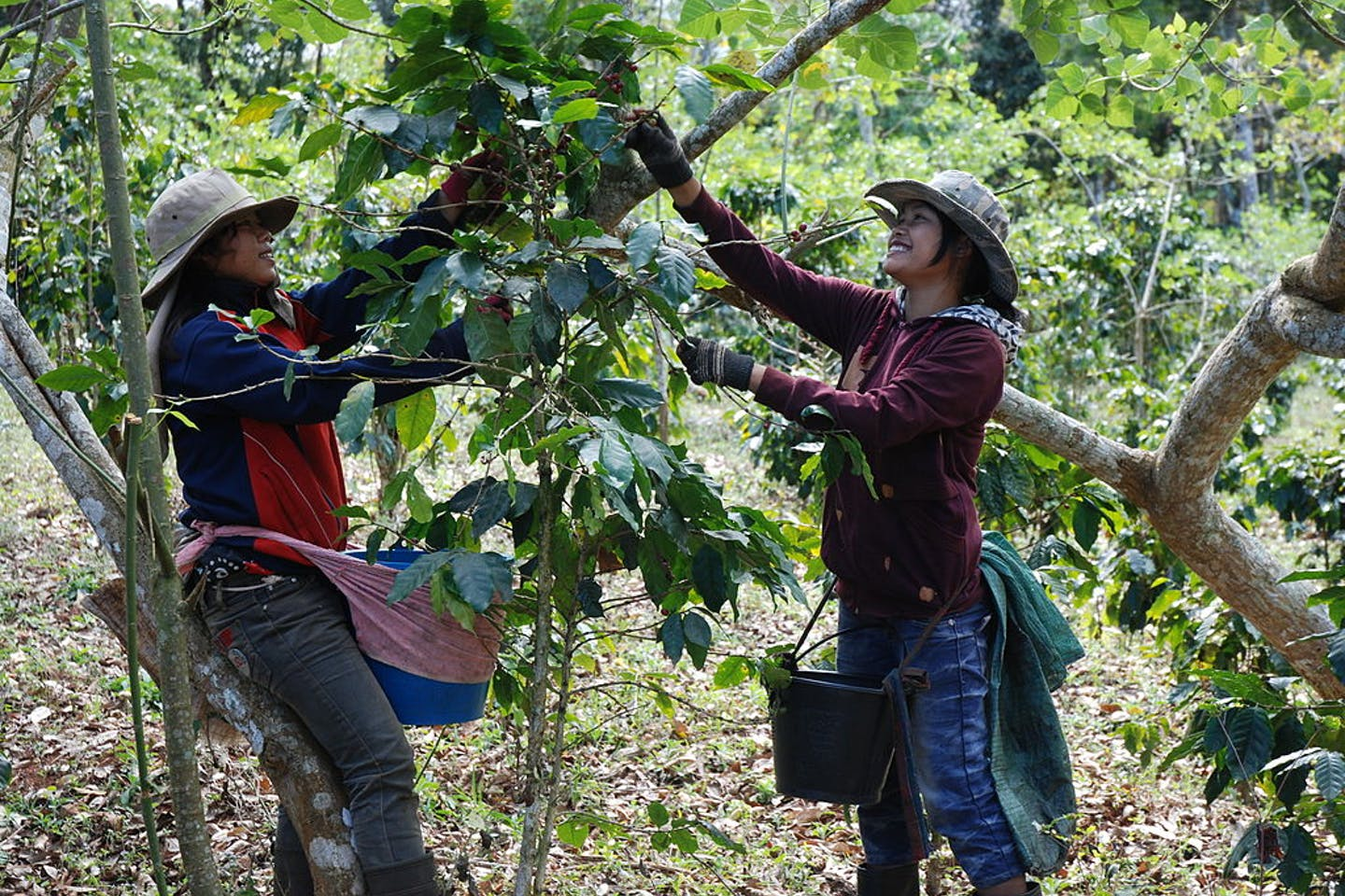 coffee farming