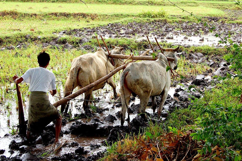 farming myanmar