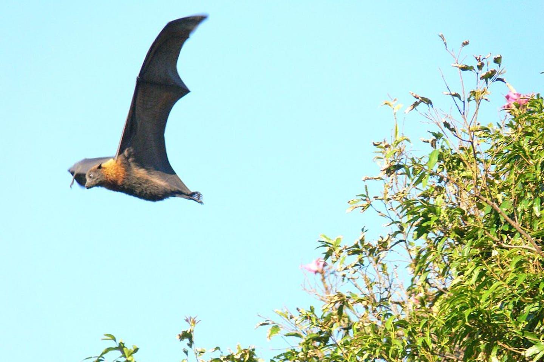 fying bats