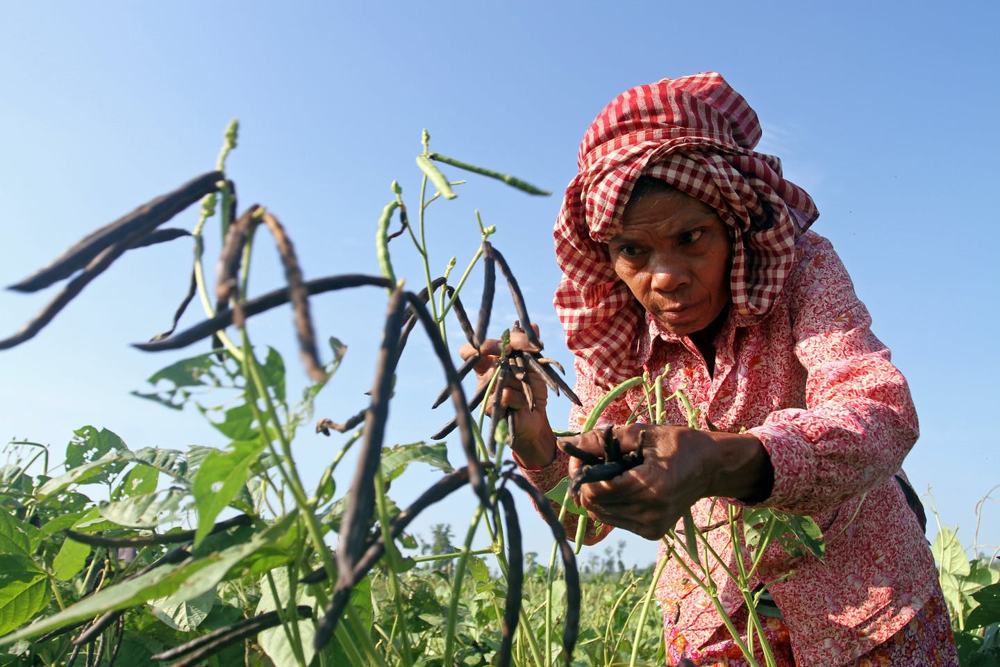 A woman harvesting mung beans in Cambodia