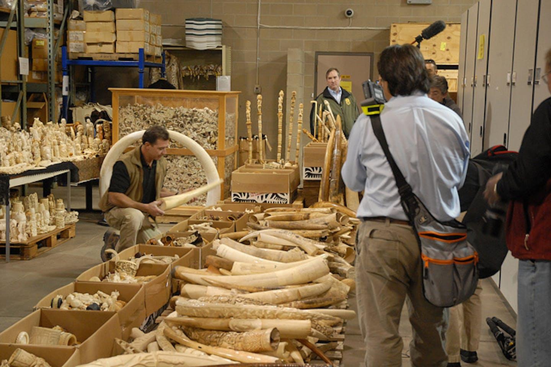 ivory slated for destruction