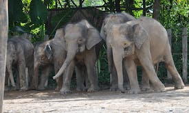 Can palm oil plantations be elephant-friendly?