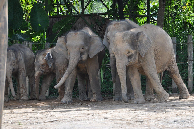 pygmy elephants sabah
