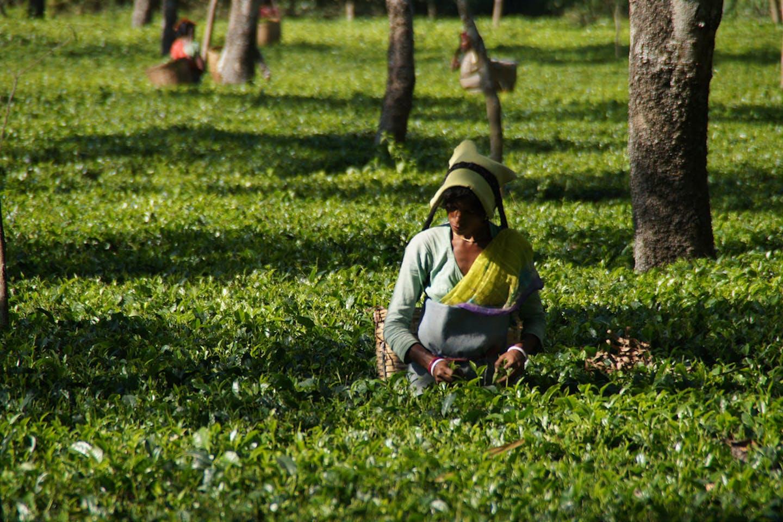 tea picker india