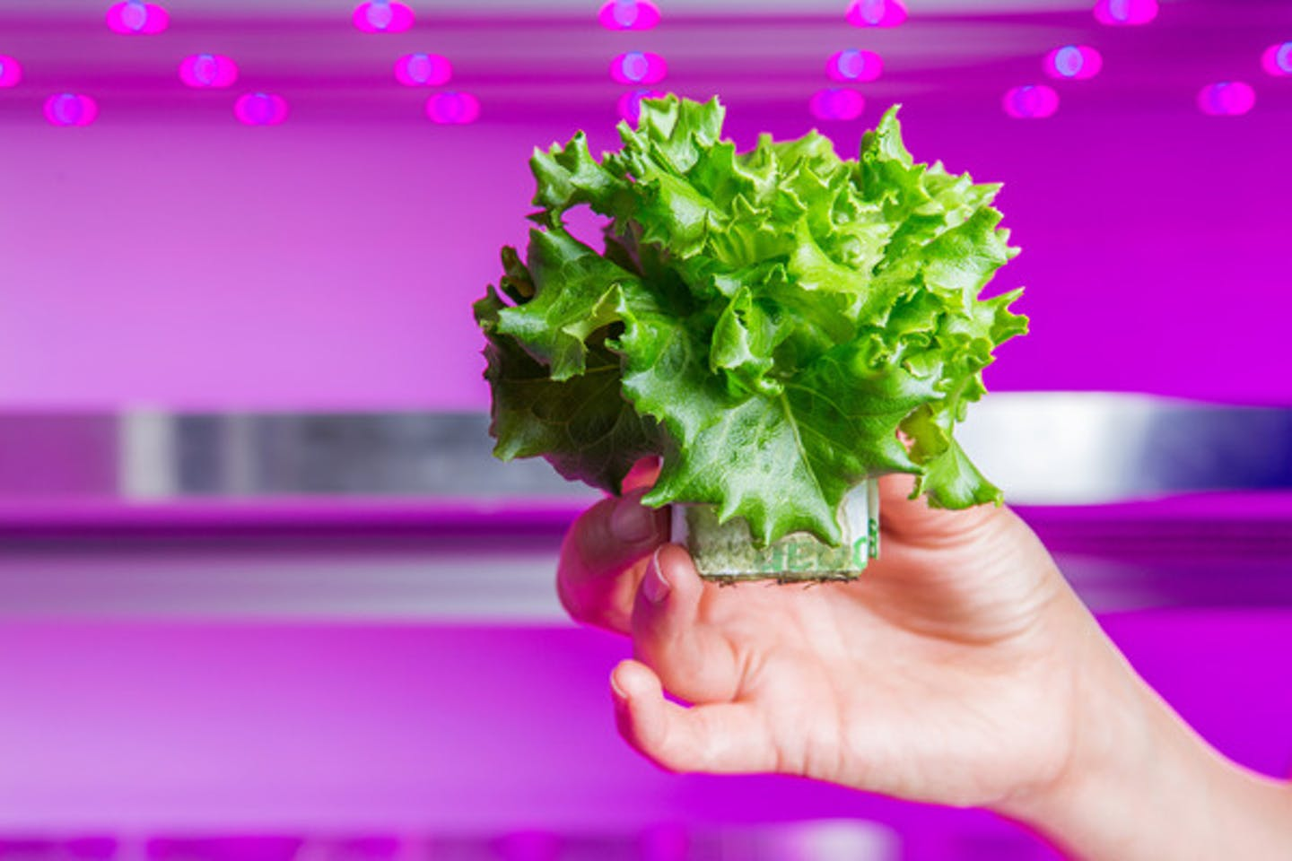 grow wise lettuce