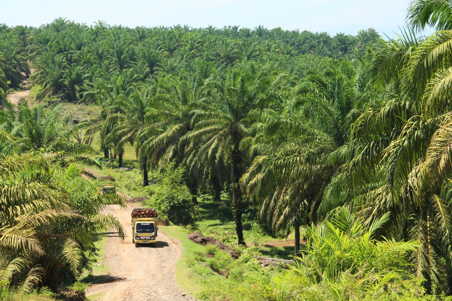 Palm oil plantation in Sumatra
