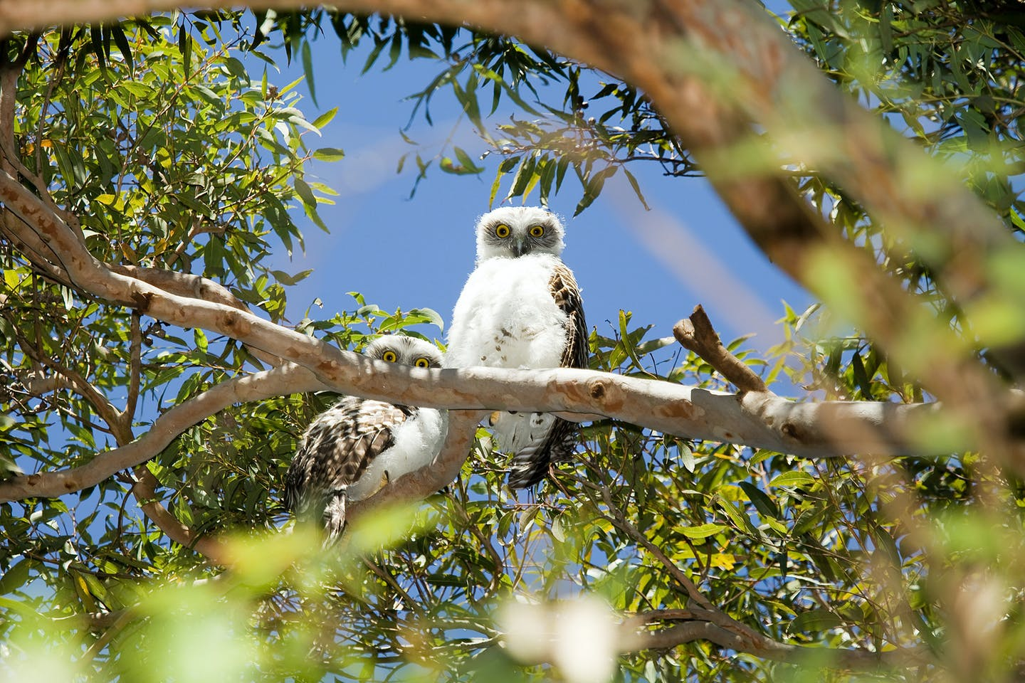 powerful owls australia
