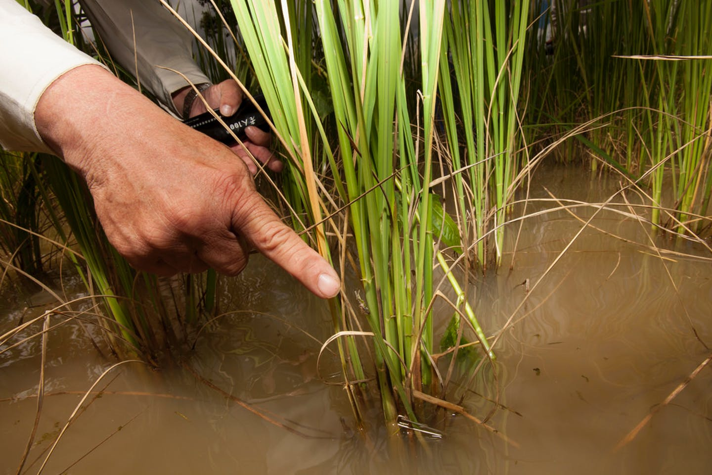 rice pest management cambodia