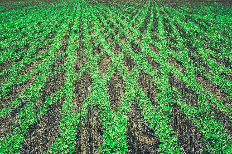 Lines of soy plants criss cross in a field