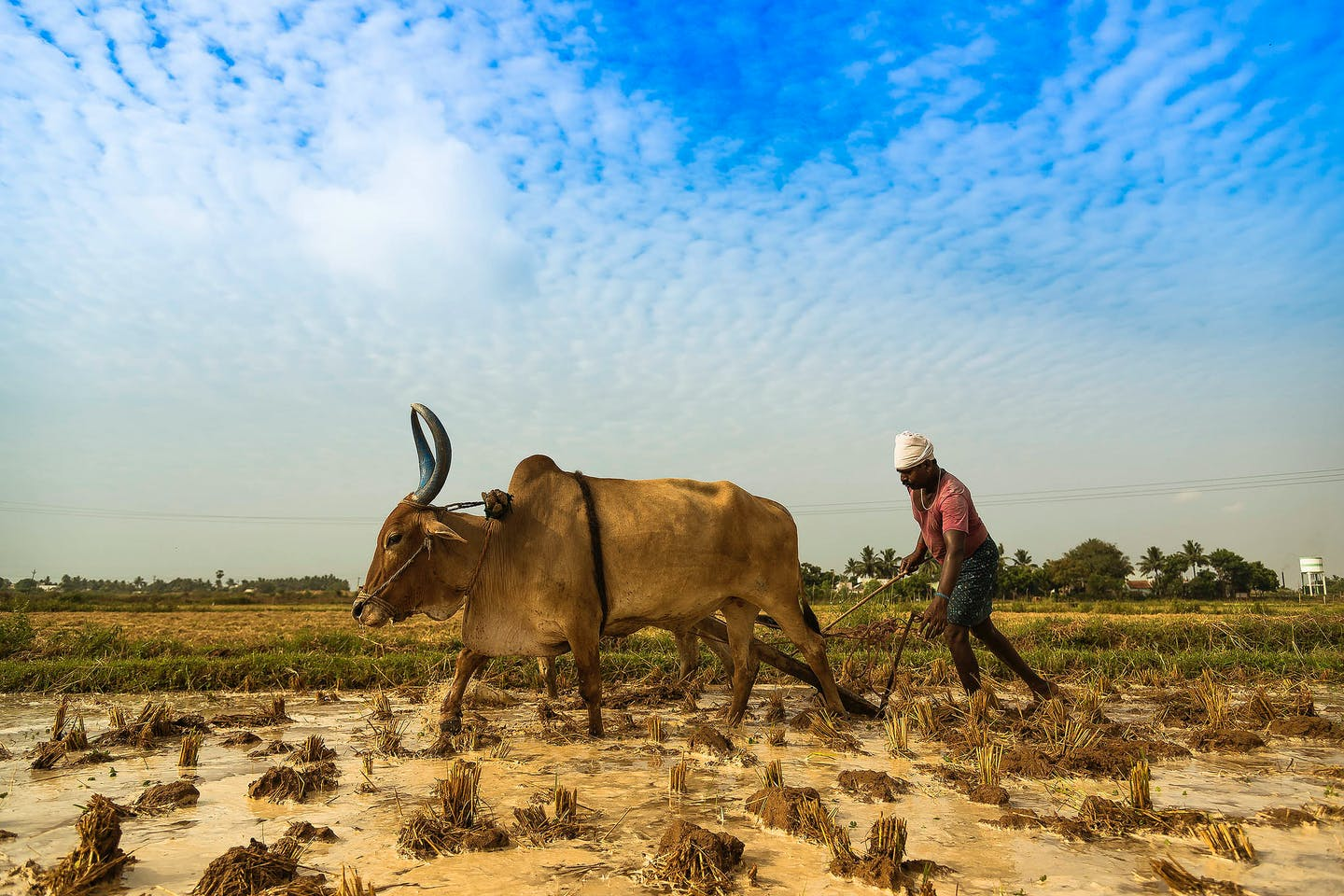 A farmer in India ploughs his field with some help
