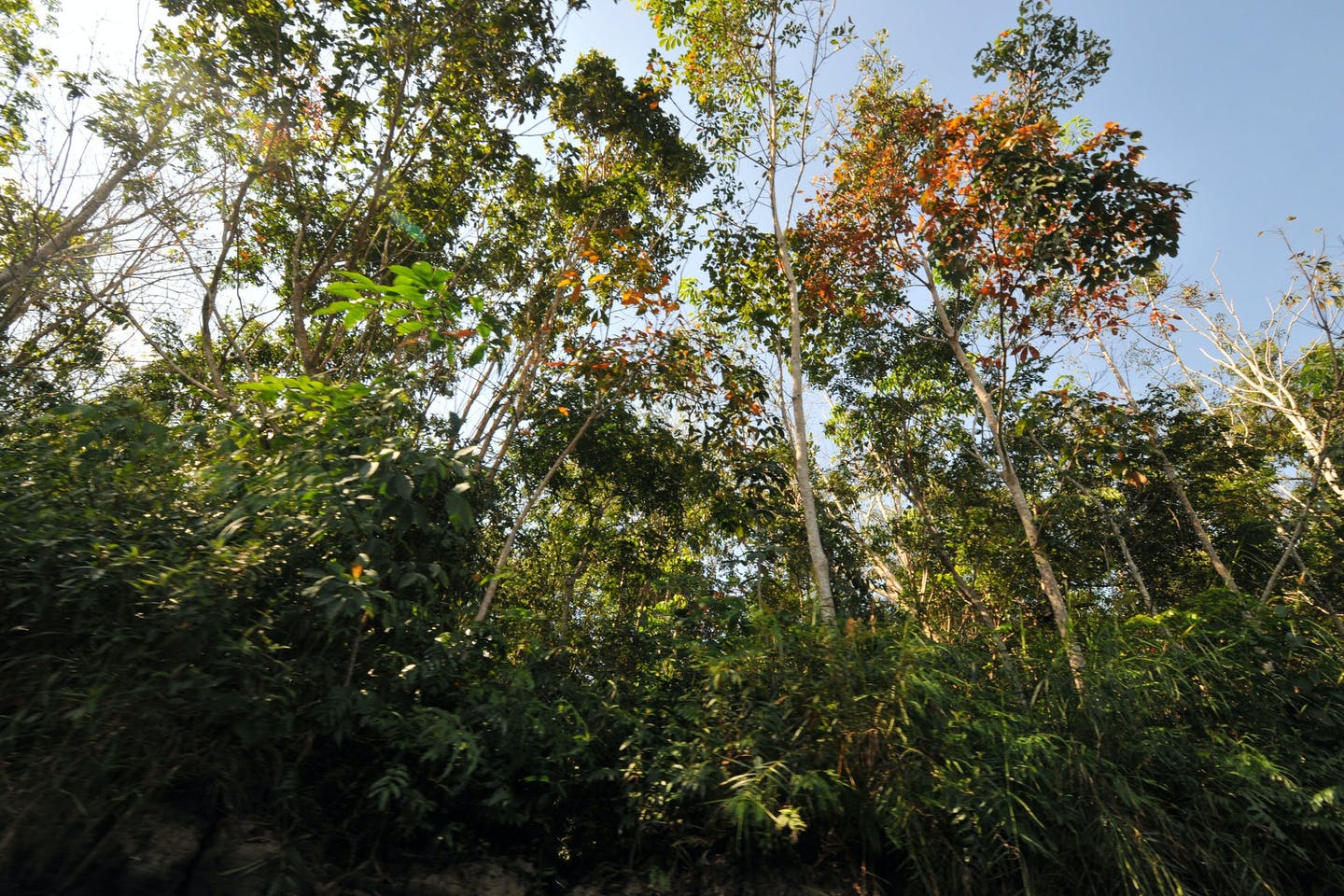 Kalimantan peat swamp forest