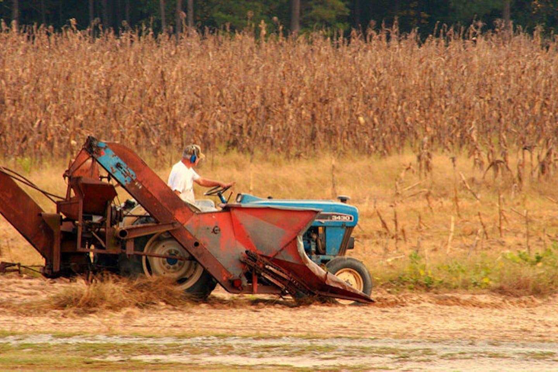 farmer oversees cornfield