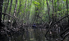 'Ecological mangrove restoration' trumps one-size-fits-all approach to forest loss