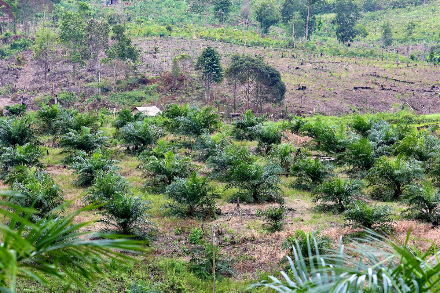 Palm oil plantation in Kalimantan, Indonesia