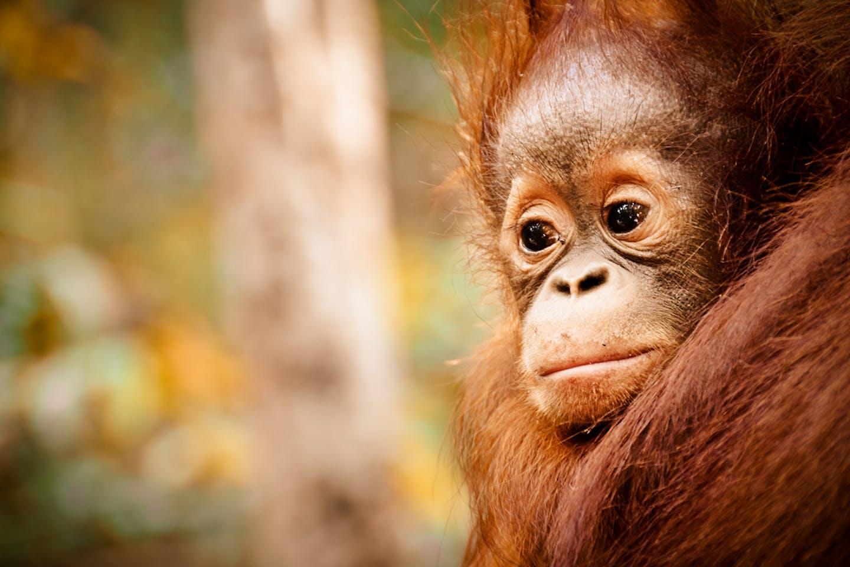 baby orangutan in Kalimantan