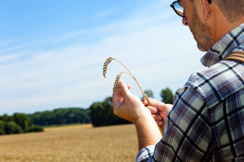 farmer inspecting his wheat