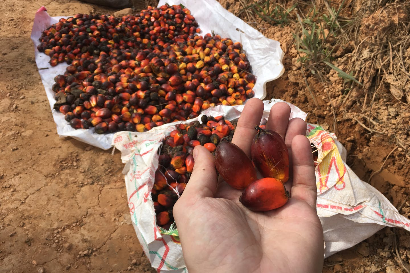 Loose palm oil fruit on the estate of PT AMNL, West Kalimantan, Indonesia