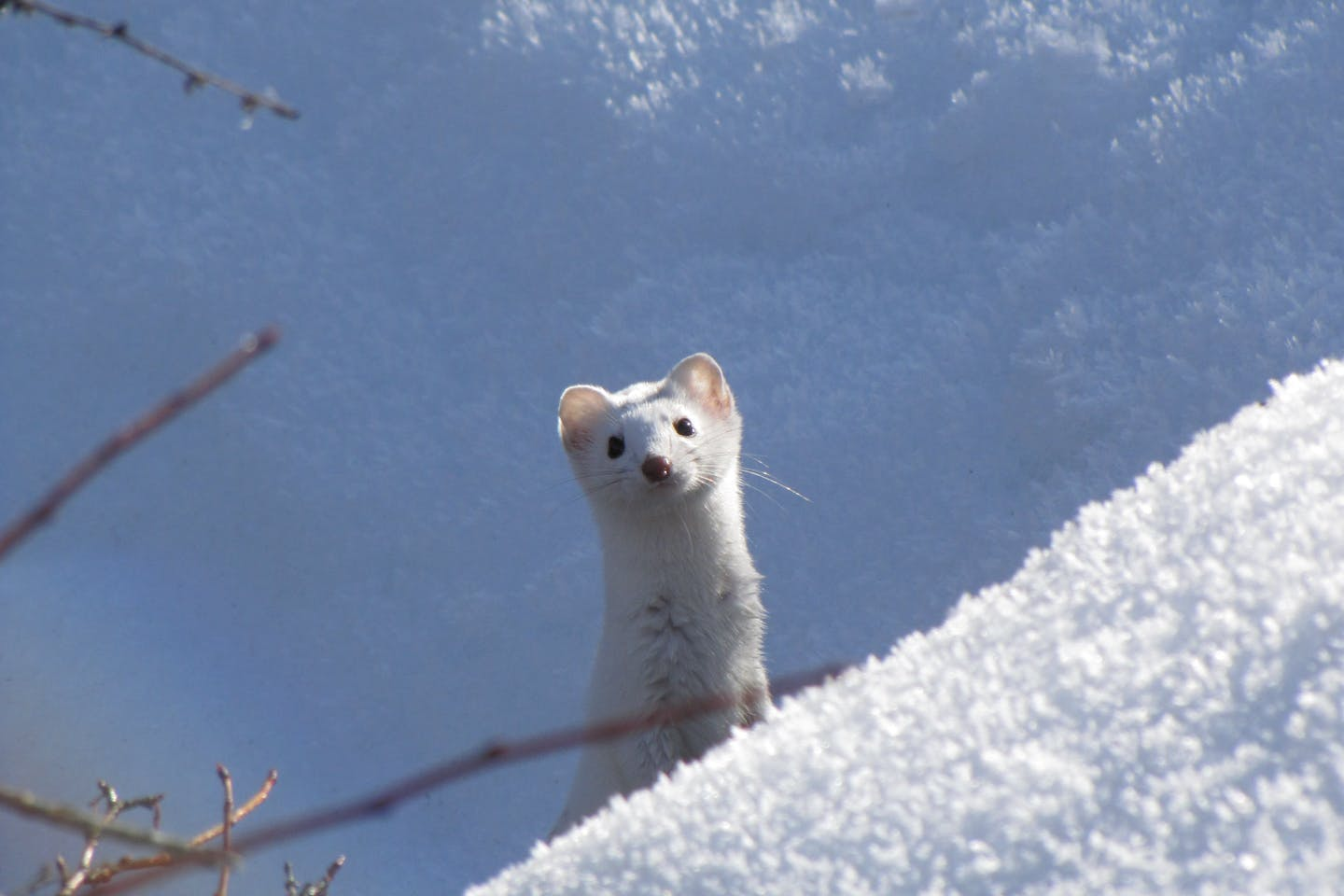 Long tailed weasel in white