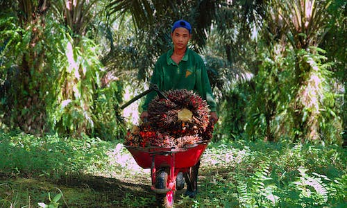 Child labour in palm oil: How can children on plantations be kept safe?