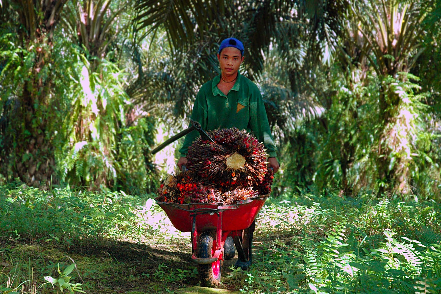 Child labour on palm oil plantation