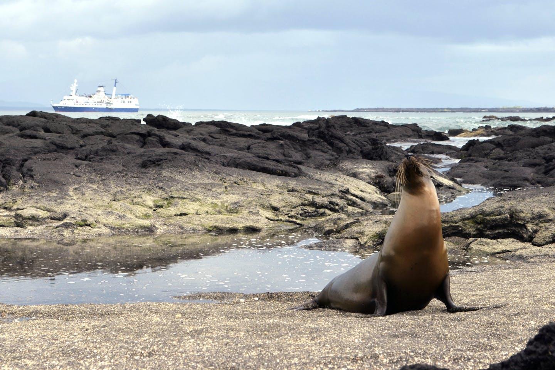 Seal in the Galalapagos