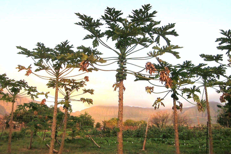 Papaya trees on a Hawaiian papaya farm